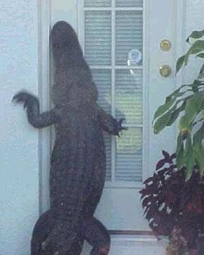 """Little pig, little pig, let me come in!!!!!!"""