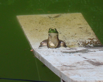 then there was 1 green speckled frog.  1 green and speckled frog, sitting on a speckled log, doing his times tables and sums...
