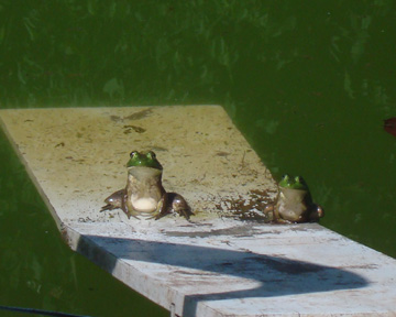 then there were 2 green speckled frogs.  2 green and speckled frogs, sitting on a speckled log, eating some most delicious bugs, yum, yum!  1 jumped into the pool, where it was nice and cool...