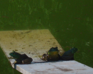 3 green and speckled frogs, sitting on a speckled log, eating some most delicious bugs, yum yum! One jumped into the pool, where it was nice and cool....